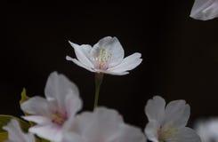 Красивая Сакура Стоковые Изображения