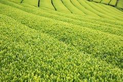 Красивая свежая плантация зеленого чая Стоковая Фотография RF