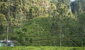 Красивая свежая плантация зеленого чая в Шри-Ланка Стоковое Изображение RF