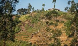Красивая свежая плантация зеленого чая в Шри-Ланка Стоковое фото RF