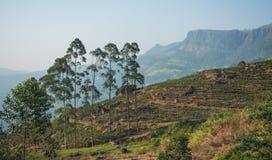 Красивая свежая плантация зеленого чая в Шри-Ланка Стоковая Фотография RF