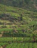 Красивая свежая плантация зеленого чая в Шри-Ланка Стоковые Изображения RF