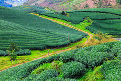 Красивая свежая плантация зеленого чая Стоковая Фотография