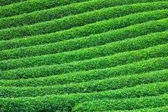 Красивая свежая плантация зеленого чая Стоковое фото RF
