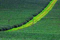 Красивая свежая плантация зеленого чая Стоковые Изображения