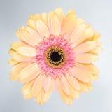 Красивая свежая хризантема стоковое изображение