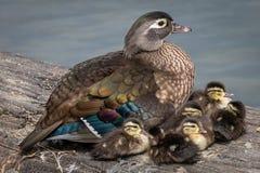 Красивая семья деревянных уток Стоковое фото RF