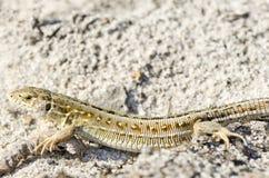 Красивая серая ящерица Стоковое Изображение
