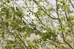 Красивая синица которая отдыхает на ветви Осмотренная издалека - Франция Стоковая Фотография RF