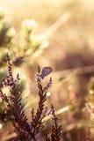 Красивая синь запятнала бабочку сидя на ветви вереска в росе утра с капельками воды на крылах Стоковое Фото