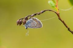 Красивая синь запятнала бабочку сидя на ветви вереска в росе утра с капельками воды на крылах Стоковое Изображение