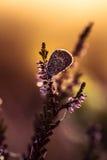 Красивая синь запятнала бабочку сидя на ветви вереска в росе утра с капельками воды на крылах Стоковые Фото