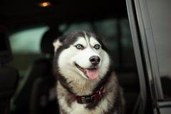 Красивая сиплая собака в автомобиле стоковые изображения rf