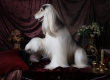 Красивая собака афганской борзой Стоковая Фотография