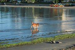 Красивая собака бежать на пляже Стоковые Изображения RF