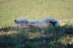 Красивая собака белого терьера западной гористой местности вращая в лугах Rebedul в Луго Природа ландшафтов животных Стоковая Фотография