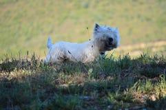 Красивая собака белого терьера западной гористой местности тряся в лугах Rebedul в Луго Природа ландшафтов животных Стоковая Фотография RF