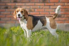 Красивая собака бигля в саде Стоковая Фотография RF