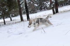 Красивая собака идет в древесины Стоковые Изображения