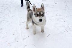 Красивая собака идет в древесины Стоковые Изображения RF