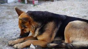 Красивая собака немецкой овчарки в дворе акции видеоматериалы