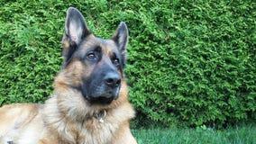 Красивая собака немецкой овчарки получает шум стоковая фотография