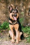 Красивая собака немецкой овчарки сидит в зеленой траве Эльзасская собака волка или собака немецкой овчарки на зеленой траве Стоковое фото RF