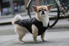 Красивая собака одевает улицу Стоковая Фотография