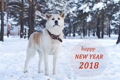 Красивая собака породы Акиты Inu японца в лесе в зиме среди деревьев и congra Стоковые Изображения RF