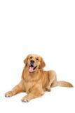 Красивая собака сидя вниз - изолированный над белой предпосылкой Стоковое Изображение RF