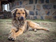 Красивая собака смешанной гонки кладя на траву перед каменным зданием в горах Лесото, Южной Африки Стоковое Фото