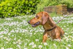 Красивая собака сосиски лежа на зеленой траве стоковая фотография