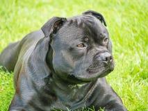 Красивая собака терьера быка Стаффордшира лежа вниз снаружи Стоковая Фотография RF