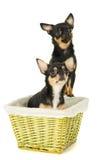 Красивая собака чихуахуа сидя в корзине стоковое фото rf