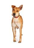 Красивая собака Crossbreed чабана Стоковое Фото