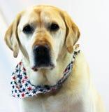 Красивая собака, собака labrador золотая довольно хорошая Стоковая Фотография