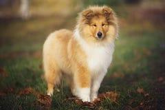 Красивая собака Sheltie на природе Стоковые Изображения RF