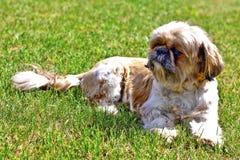 Красивая собака - Shih Tzu Стоковая Фотография
