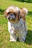 Красивая собака - Shih Tzu Стоковые Изображения RF