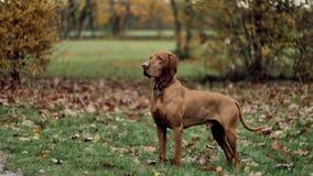 Красивая собака Vizsla в парке осени сток-видео