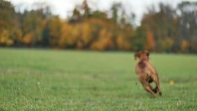 Красивая собака Vizsla в парке осени акции видеоматериалы