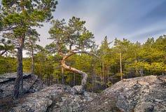 Красивая сосна на лесе Стоковые Фото
