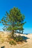 Красивая сосенка на песчанной дюне Стоковое фото RF