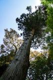 Красивая старая высокорослая сосна с текстурированными хоботом, ветвями и тенями расшивы зеленых листьев на ясной предпосылке гол Стоковая Фотография