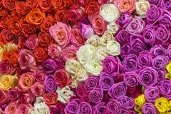 Красивая стена сделанная красочных роз Стоковое Изображение