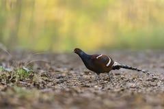 Красивая стойка редкой птицы на предпосылке природы Стоковая Фотография RF