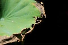 Красивая сухая лилия пусковой площадки или воды лотоса и пусковая площадка лилии Стоковые Изображения RF