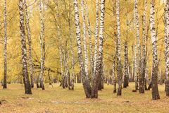 Красивая сцена в желтом лесе березы осени в октябре с упаденными желтыми листьями осени Стоковое Изображение RF