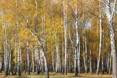 Красивая сцена в желтом лесе березы осени в октябре с упаденными желтыми листьями осени Стоковое Изображение