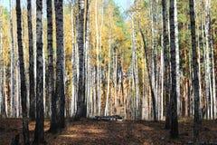 Красивая сцена в желтом лесе березы осени в октябре с упаденными желтыми листьями осени Стоковые Изображения RF